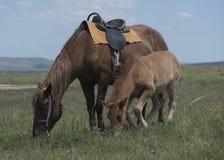 Лошадь залива с осленком Стоковые Изображения RF