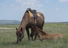 Лошадь залива также смотрит осленка Стоковые Фотографии RF