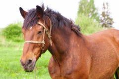 лошадь залива Стоковое Фото