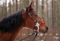 Лошадь залива Стоковое фото RF