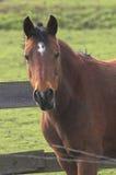 лошадь залива Стоковые Изображения RF