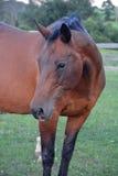 Лошадь залива 1 Стоковые Изображения RF