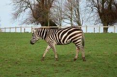 Лошадь зебры striped чернота камуфлирования меха нашивок сафари млекопитающаяся белая стоковая фотография rf