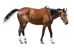 лошадь изолировала Стоковое Изображение