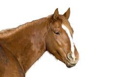 лошадь изолировала Стоковая Фотография