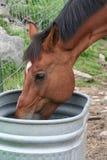 лошадь испытывающий жажду Стоковая Фотография