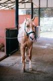 Лошадь кабанины стоя в амбаре с сухой травой стоковое фото