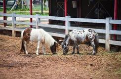 Лошадь карлика стоковая фотография
