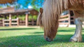 Лошадь карлика в зеленом поле стоковое изображение rf