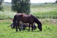 Лошадь каштана страны пася на луге стоковое изображение rf