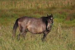 лошадь каштана Стоковое Фото