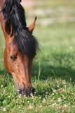 лошадь каштана Стоковое Изображение