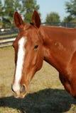 лошадь каштана Стоковые Изображения
