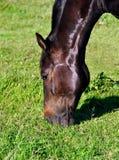 лошадь коричневой травы еды головная Стоковые Фотографии RF
