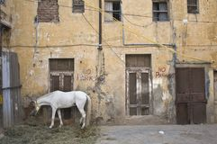 Лошадь которая ест траву рядом со старым зданием в сердце района Paharganj стоковые изображения rf
