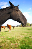 лошадь красотки Стоковое Фото