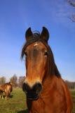 лошадь красотки Стоковое фото RF