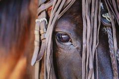 лошадь крупного плана головная Стоковые Изображения RF