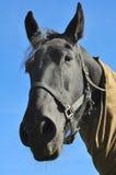 лошадь крупного плана Стоковое Изображение RF