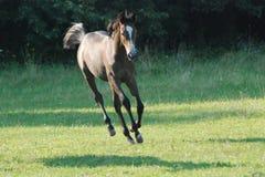 лошадь летания Стоковое Изображение