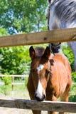 Лошадь младенца Стоковое фото RF