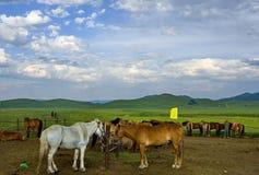 лошадь Монголия Стоковое Фото