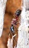 лошадь муравея близкая весьма вверх по древесине Стоковые Изображения RF