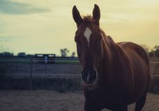 Лошадь на природе Портрет лошади, коричневый ход лошади Стоковое фото RF