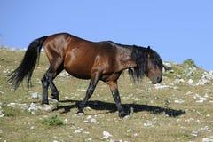лошадь одичалая Стоковые Изображения