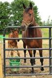 лошадь осленка Стоковые Изображения