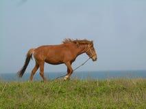 Лошадь острова Jeju пася взморьем Стоковое фото RF