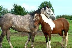 лошадь пар стоковые изображения