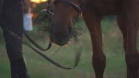 Лошадь пасет на поле видеоматериал