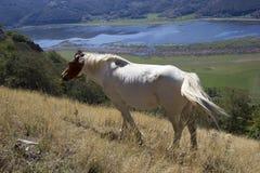 Лошадь пася в горе Стоковое Изображение