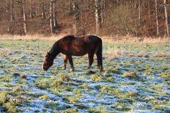 Лошадь пася в ландшафте зимы Стоковые Изображения RF