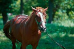 лошадь пася в лужке стоковое изображение