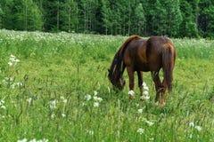 Лошадь пася в маневрах стоковое изображение