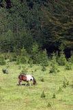 Лошадь пася на горе около лета леса Стоковые Фотографии RF