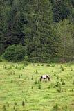 Лошадь пася на горе Стоковое фото RF