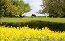 Лошадь пася на луге окруженном деревьями и зацветая полями рапса в Франции Стоковая Фотография RF