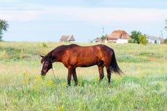 Лошадь пася на поводке, лошадь в поле на лошади eveningBrown пася на поводке, лошадь Брайна в поле на вечере Стоковые Фотографии RF