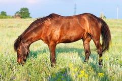 Лошадь пася на поводке, лошадь в поле на лошади eveningBrown пася на поводке, лошадь Брайна в поле на вечере Стоковые Фото