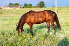 Лошадь пася на поводке, лошадь в поле на лошади eveningBrown пася на поводке, лошадь Брайна в поле на вечере Стоковое Изображение RF