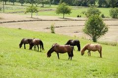 Лошадь пася на поле стоковые изображения rf
