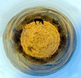 Лошадь пася на яркой желтой траве панорама сферически стоковое фото rf