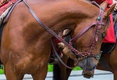Лошадь племенника Брайна с мощным торсом и длинной шеей в проводке Стоковая Фотография RF
