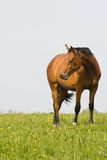 лошадь поля залива Стоковые Изображения RF