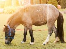 Лошадь пони есть свежую траву в поле стоковое изображение