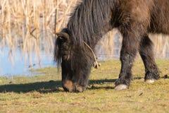 Лошадь пони пася вне в природе Стоковое Изображение