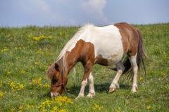 Лошадь пони пася в луге Стоковая Фотография RF